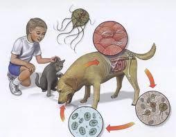 paraziti u kocek au apărut condiloame